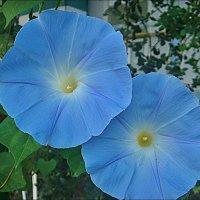 Распахнув голубые глаза, смотрят нежные ипомеи... :: Нина Корешкова