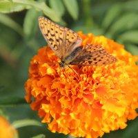 бабочка на цветке :: Анастасия Мацука