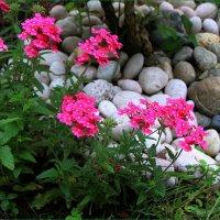 Лето радует цветами :: Ольга Ламзина