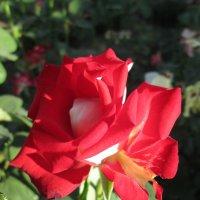Утро с розами... :: Тамара (st.tamara)