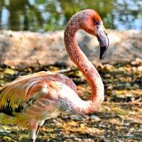 Розовый фламинго. :: Виктор Евстратов