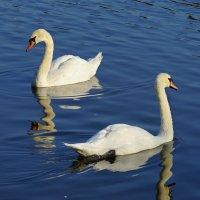 Лебеди. :: bybyakovo