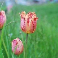 Тюльпаны... :: Grishkov S.M.