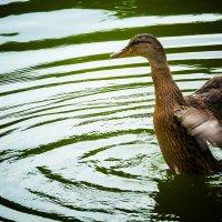 стремление к совершенству (почти лебедь) :: Андрей Пашков