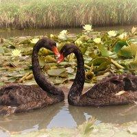 Два  черных  лебедя  скользили среди  белых  немфей!!! :: Valentina Lujbimova [lotos 5]