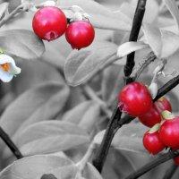 Цветочки-ягодки... :: Нина Шоломицкая