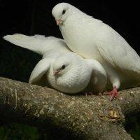 Голуби и любовь... :: Сашенька)