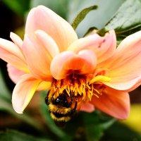 Шмель на цветке. :: Виктор Евстратов
