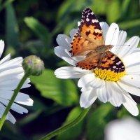 Бабочка присела на цветочек белый... :: Виолетта