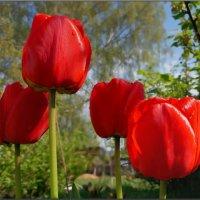 майский тюльпан :: Дмитрий