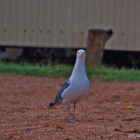 Серебристая чайка!!! :: Олег Семенцов