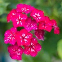 цветочки :: Роман Синельников