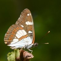 Бабочка :: Владимир Клюнк