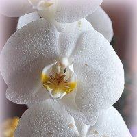 Орхидея фаленопсис... :: Наталья Агеева