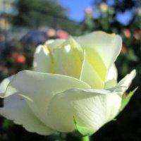 Белоснежная красота... :: Тамара (st.tamara)