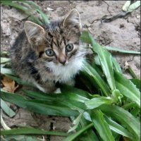 Маленький котёнок :: Нина Корешкова