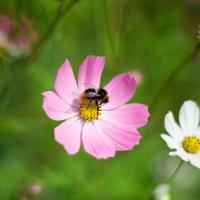 Пчела :: Евгений Конкин