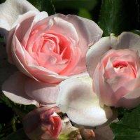 Розовые розы :: Nikolay Monahov