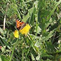 бабочка :: Наталья Золотых-Сибирская