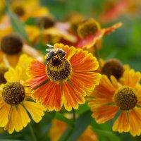 Пчелка собирает нектар :: Виталий Устинов