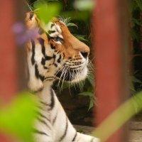 Амурский тигр :: Анастасия Гаврилова