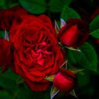 Roses :: Christina Batovskaya
