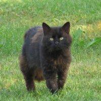 Чёрная кошка. :: АнитА Лященко