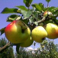 Яблоки на ветке :: Миша Любчик