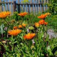 Цветы, огород, забор :: Sergey Kuznetcov