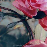 Розы :: Екатерина Перфильева