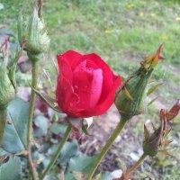 Роза :: Андрей Кузнецов