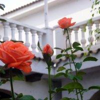 Розы :: Наталья