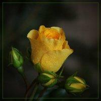 Роза :: leoligra