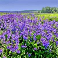 Цветущие поля :: Валерий Талашов
