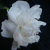 Нежность белого пиона приласкала душу мне... :: Нина Корешкова