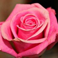 роза :: Даша Шамшура