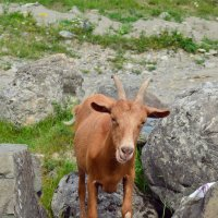 Рыжая коза :: Never Forever