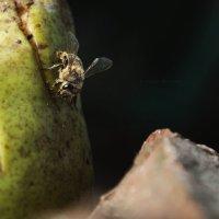Пчела ест грушу :: Руслан
