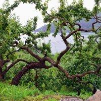 Этой яблоне 160 лет :: Николаева Наталья