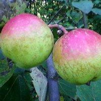 Пара яблочек :: Миша Любчик