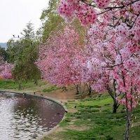 Цветение Сакуры. :: Анна