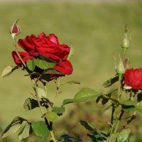 московская роза :: лина сергеева