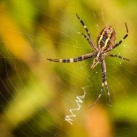 Аргиопа Брюнниха, или паук-оса (лат. Argiope bruennichi) :: Андрей Шевчик