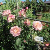 Розы :: раиса Орловская