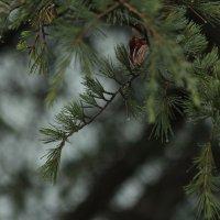 Секвойя и дождь :: Никита Иванов