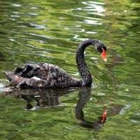 Черный лебедь. :: юрий