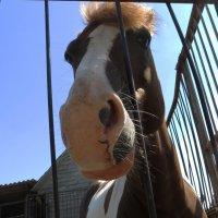 Любопытная лошадка! :: Ирина Олехнович