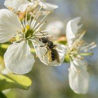 Пчелка) :: Богдан Петренко