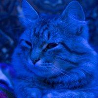 кот в голубом свете :: Сергей Липягов