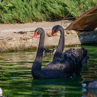 Чёрные лебеди. :: Геннадий Оробей
